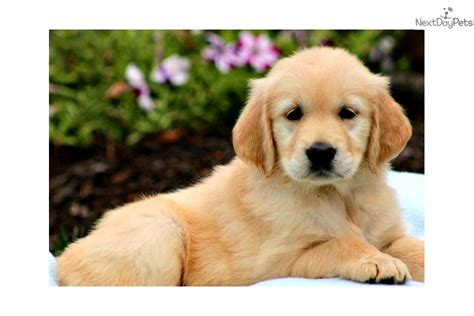 golden retriever breeders pennsylvania golden retriever puppies near pittsburgh pa assistedlivingcares