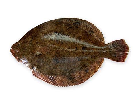 cucinare il rombo in padella specie ittiche in cucina rombo liscio o soaso