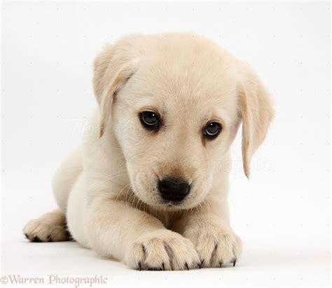 puppy in lab puppie puppies puppy