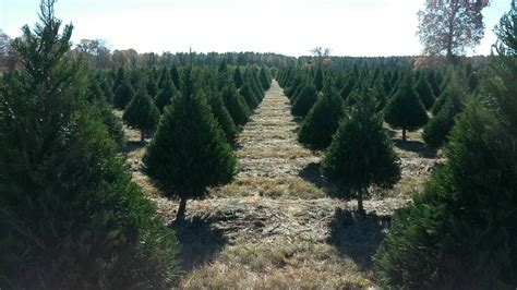 mississippi christmas tree farm mpb mississippi broadcasting