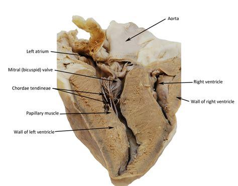a coronal section of a sheep heart sheep heart human anatomy web site