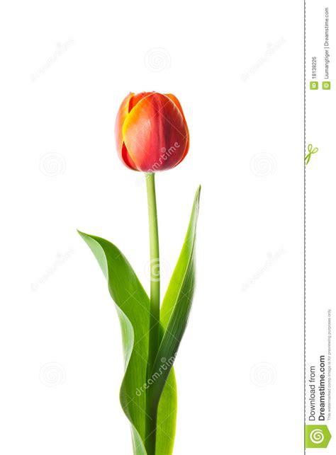 fiore tulipano fiore isolato tulipano immagine stock libera da