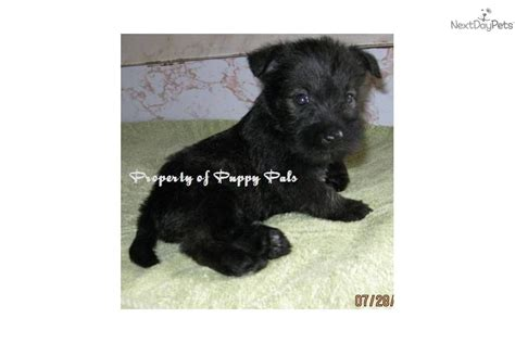 miniature schnauzer puppies for sale in indiana meet a schnauzer miniature puppy for sale for 400 schnauzer scottie cross