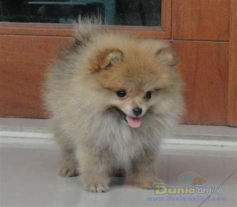 show quality pomeranian puppies for sale dunia anjing jual anjing pomeranian pomeranian puppies show quality bandung