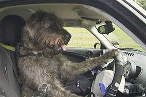 a volante ma cosa cani al volante