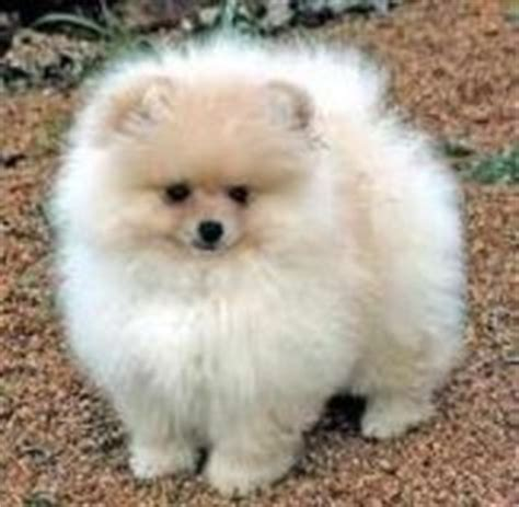 teacup pomapoo puppies for sale 1000 images about pomapoo cuteness on pomeranians puppys and poodles