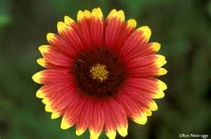 indianer decke indian blanket photos stock photo of wildflowers