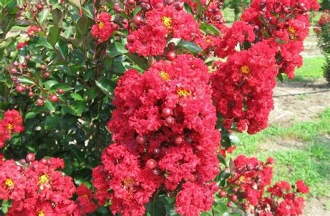 crape myrtle colors crape myrtle colors lookup beforebuying