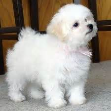 white bolognese puppies sale 1000 images about animals on teacup maltese lhasa apso and teacup