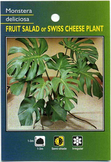 fruit salad  swiss cheese plant monstera deliciosa buy fruit