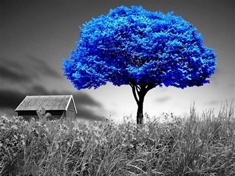 alone blue blue tree nature other hd desktop wallpaper