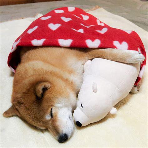 adorable shiba inu  falls asleep   position