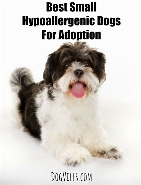 E Para Adocao From The Adoptable Pets Photo Pool by Best Small Hypoallergenic Dogs For Adoption Vills
