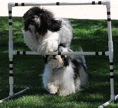 havanese show havanese puppies friends and family show dogs breeds picture