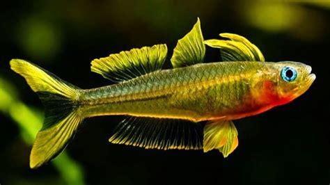 Makanan Ikan Hias Sepat jenis ikan hias air tawar yang mudah dipelihara lengkap