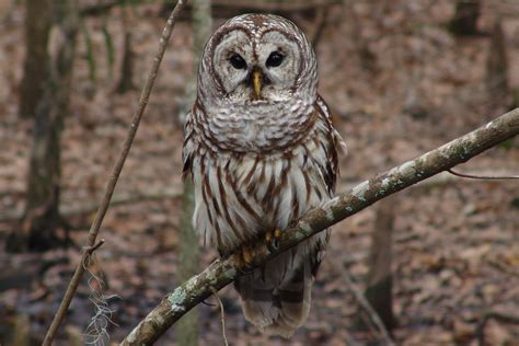 owl species characteristics and identification