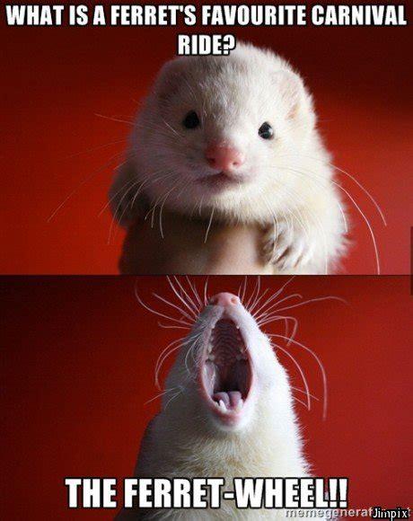Ferret Meme - introducing the funny ferret new meme ferrets