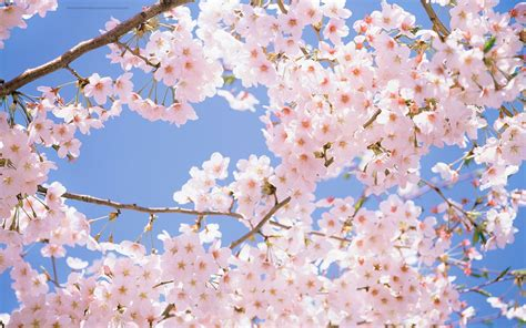 cherry blossom pics beautiful wallpapers for desktop cherry blossom wallpapers hd