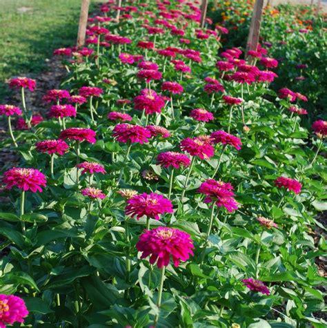 Zinnia Flower Garden 25 Best Ideas About Zinnias On Zinnia Garden Zinnia Elegans And Zinnia Flower Ideas