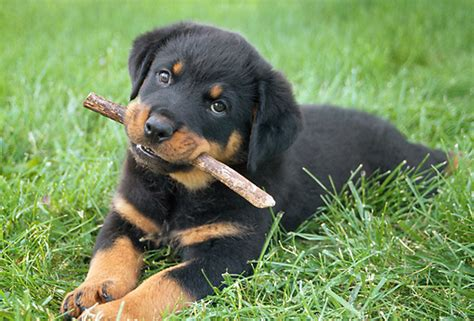 another name for rottweiler image gallery rottweiler pups