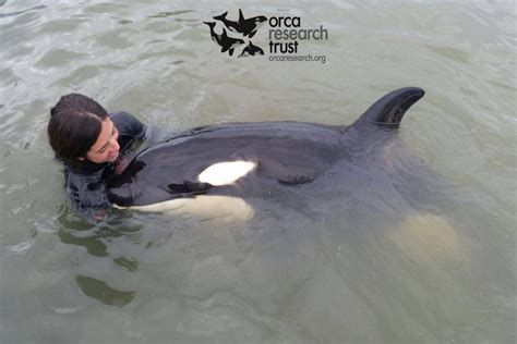 killer whale rescue volunteers lose battle to save lost baby killer whale