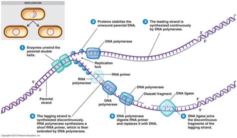 how is the template strand for a particular gene determined dna structure lan huynh s portfolio