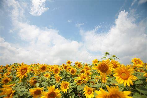 sunflower garden photo page everystockphoto