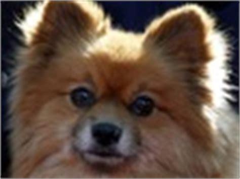 pomeranian rescue nc carolina pomeranian rescue adoptions rescueme org