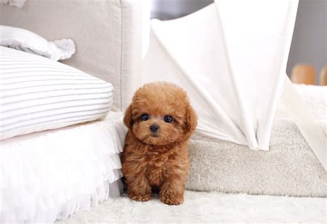 micro poodle puppy sold micro teacup poodle itsy puppy teacup