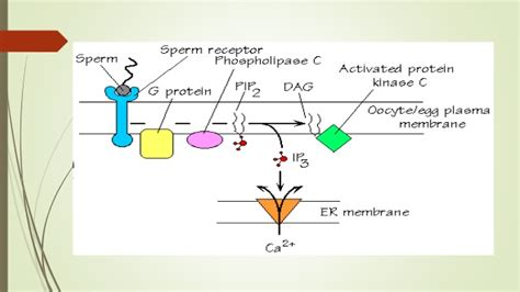 a protein activated by second messengers free a second messenger that can activate an