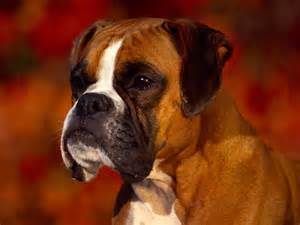 Tag boxer dog wallpapers images photos pictures and backgrounds