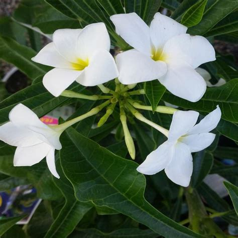plumeria pudica common name plumeria pudica wild plumeria flowering shrubs exotic space