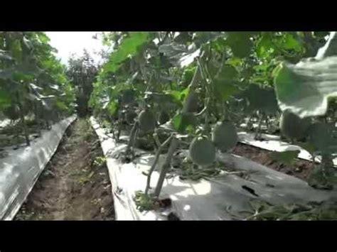 Pupuk Golstar Mempercepat Pertubuhan Tanaman Buah tehnik merangsang pertumbuhan buah melon memberikan pupuk npk