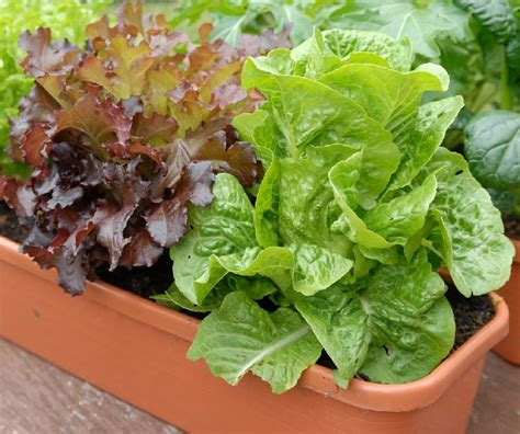 Lettuce Planter by Growing Lettuce In Containers How To Grow Lettuce In