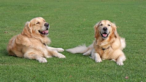 can golden retrievers be left alone why your needs plenty of exercise paws c