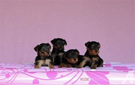 akc yorkie puppies for sale in indiana akc yorkie puppies 4 sale for sale in eckerty indiana classified
