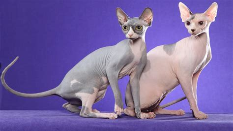 El característico gato esfinge