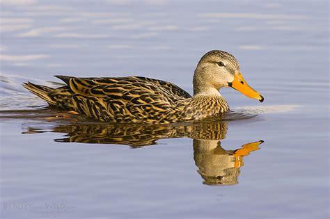 florida mottled duck flickr photo sharing