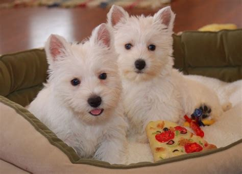 westie puppy westie puppies