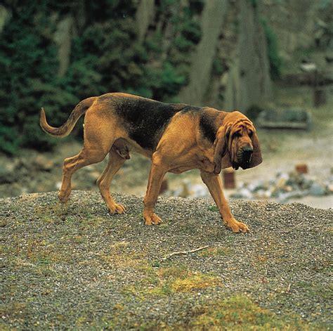 bloodhound puppy pictures bloodhound puppies wallpaper picture bloodhound puppies breeds picture