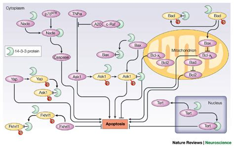 3 proteins in the figure 4 14 3 3 proteins in the nervous system nature