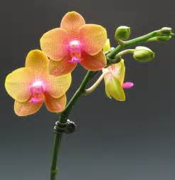 color orchids miniature moth orchids orchidaceous orchid