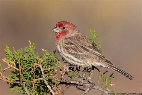 mexican house finch house finch 28