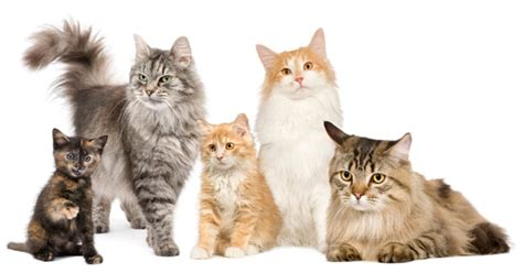 types of cats top 10 most popular cat breeds cathealth