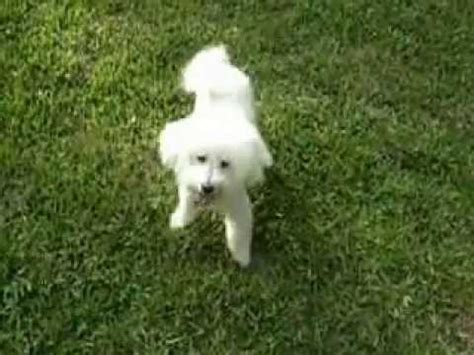 bichon frise playing catch with a tennis ball youtube