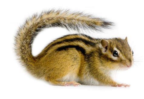 gabbia scoiattolo scoiattolo striato tamia