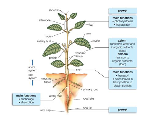 Go back gt gallery for gt plant structure