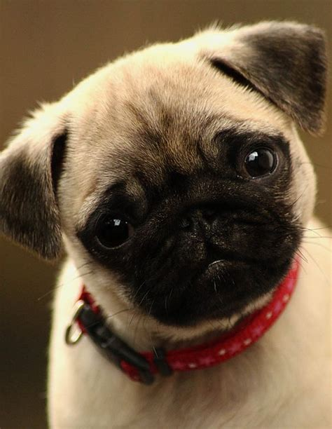 pug website click visit site and check out best quot pug quot t shirts this website is superb tip
