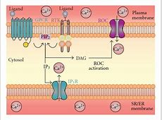 Pathogenic Role of Store-Operated and Receptor-Operated ... G Protein Coupled Receptors Gpcrs