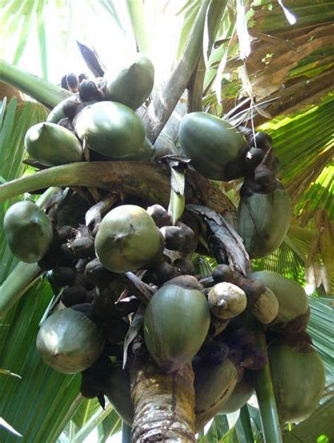 coco de mer fruit 109 best images about coco de mer on pinterest palm